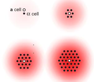 La conjugaison de cellules