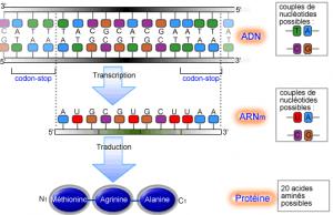 Les phénomènes aléatoires dans l'expression du gène chez les bactéries